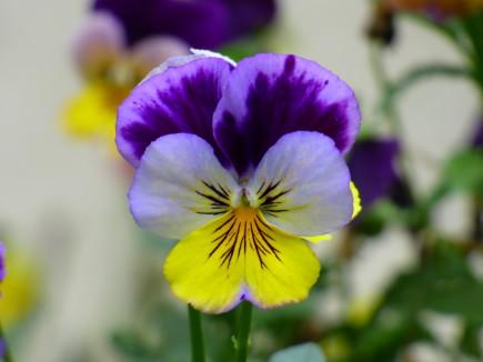 Pensamiento_(Viola_tricolor) (violeta)